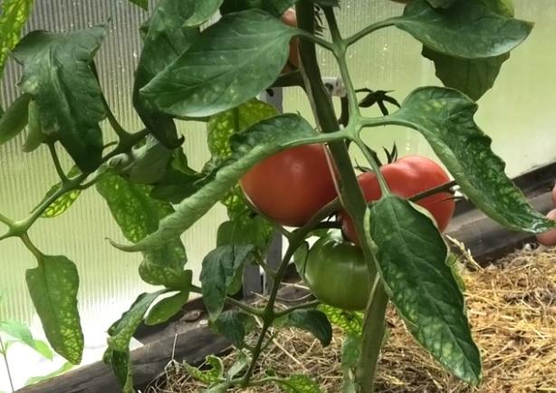 Спелые томаты на кусте
