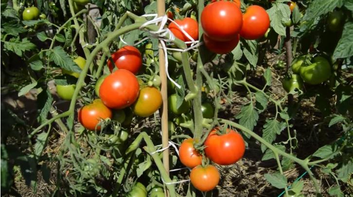 Спелые помидоры на кустах
