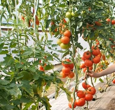 Куст, увешаннный помидорами