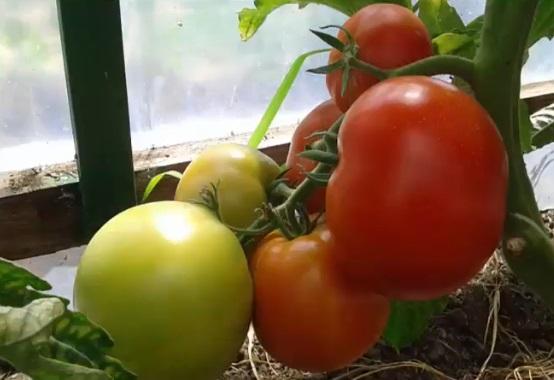 Плоды в технической и биологической спелости