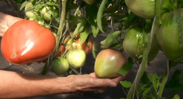 Спелые и недозревшие помидоры
