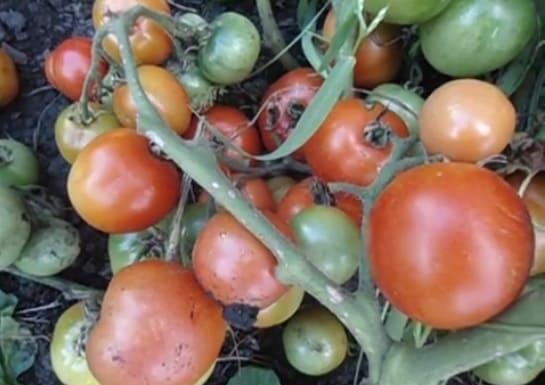 Спелые и недозревшие помидоры на кусте