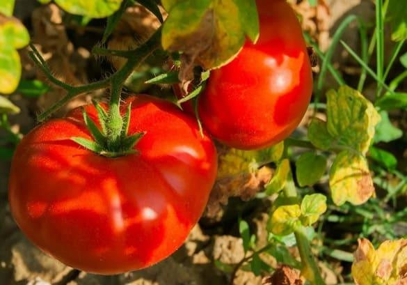 Спелые томаты на кусту