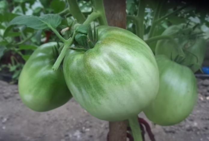 Неспелые помидоры