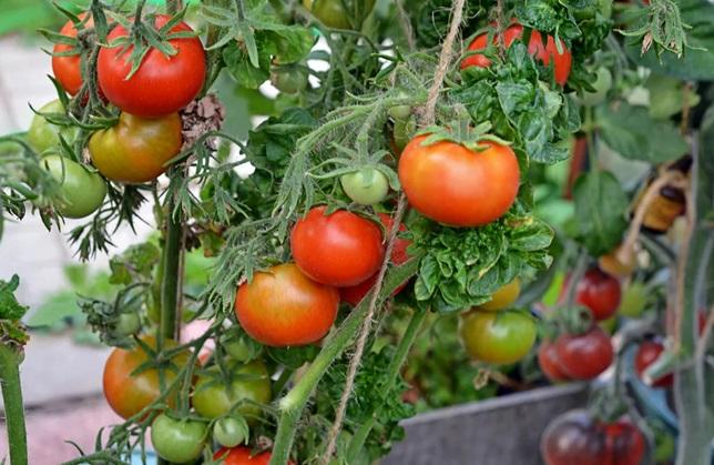 Подвязанный куст помидоров