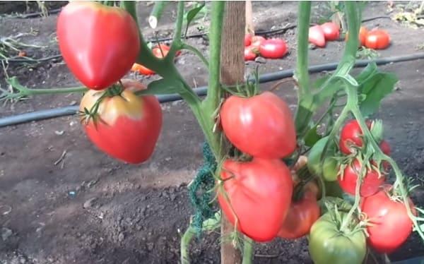 Созревшие помидоры на кустах