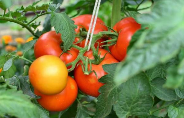 Плоды помидоров на ветке