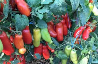Созревшие и зеленые плоды