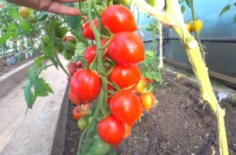 Спелые помидоры на ветке