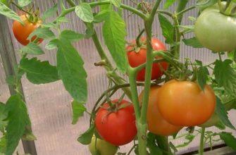 Жёлтые томаты