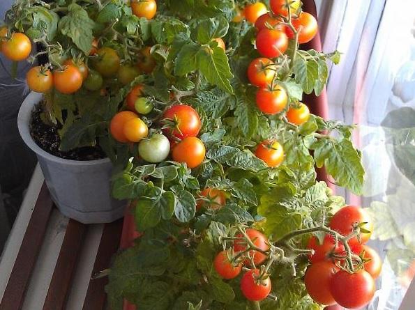 Помидорный куст со спелыми плодами